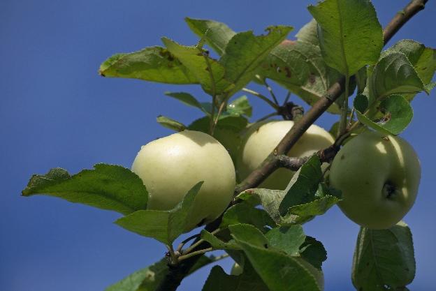 lista zadań obejmowała też zbiór jabłek