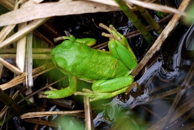 mała żabka