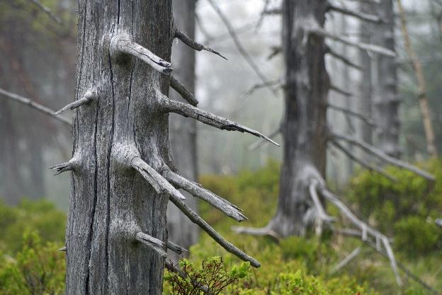 Uschnięty las w Górach Izerskich