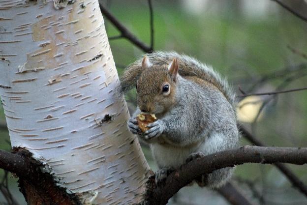 londyńska wiewiórka