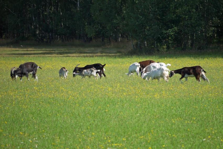 kozy zamiast żubrów - Spalski Park Krajobrazowy