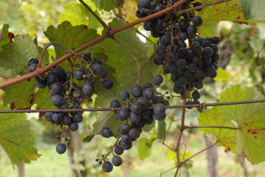 Morawy winogrona