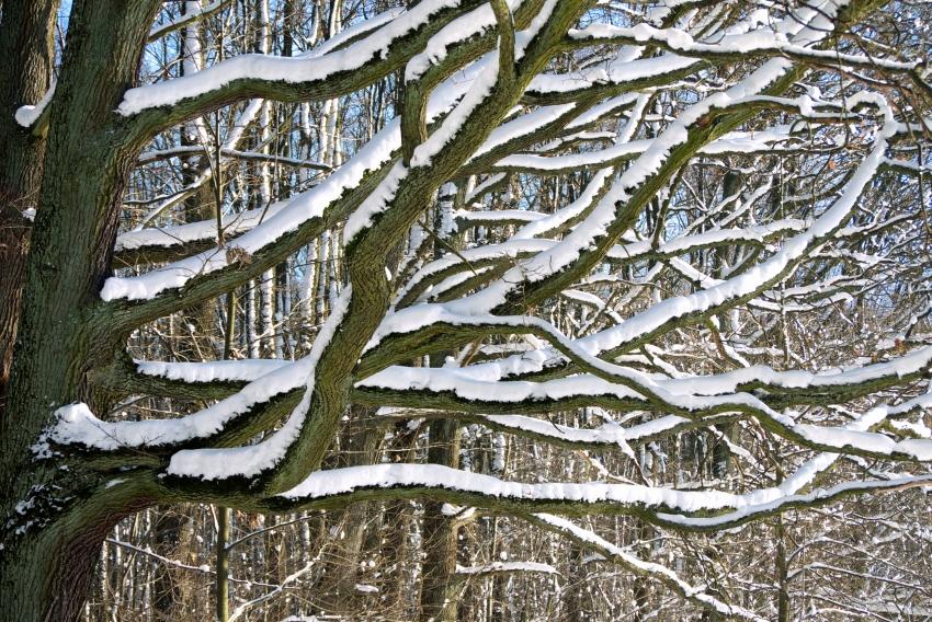 drzewo osniezone