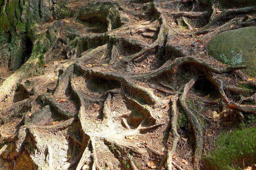 korzenie drzew