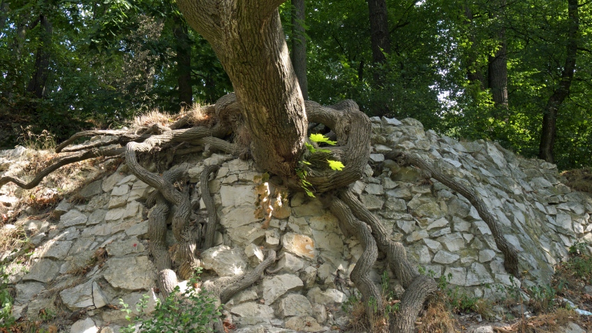 las korzenie
