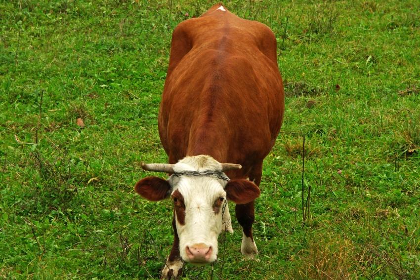 Nieśmiała krowa