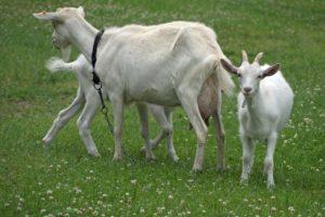 Wiejskie problemy – niebezpieczna trawa i wrażliwe zwierzęta