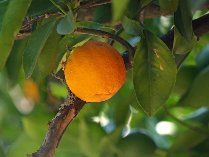 Zgniła pomarańcza