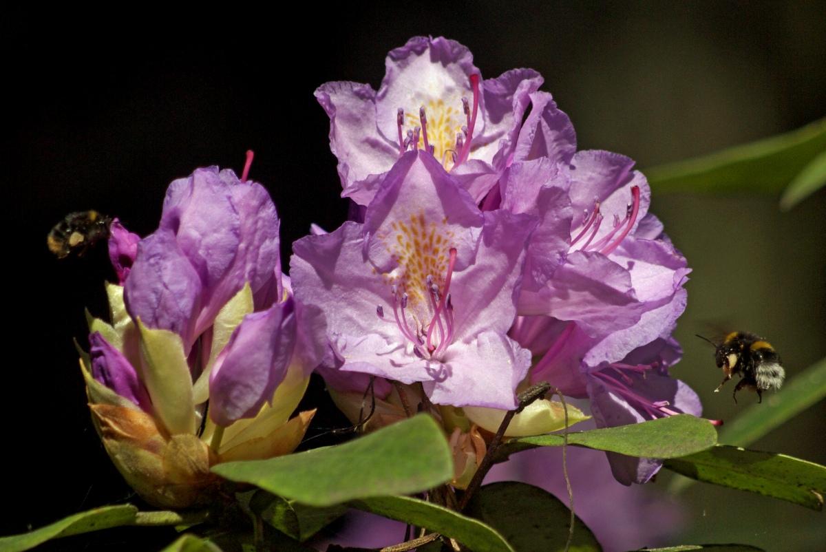 różanecznik Liswarta