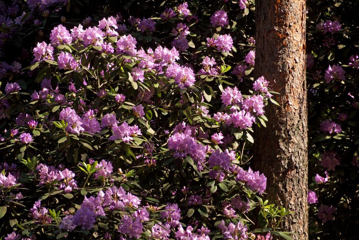 Różanecznik katawbijski lasy nad górną liswartą