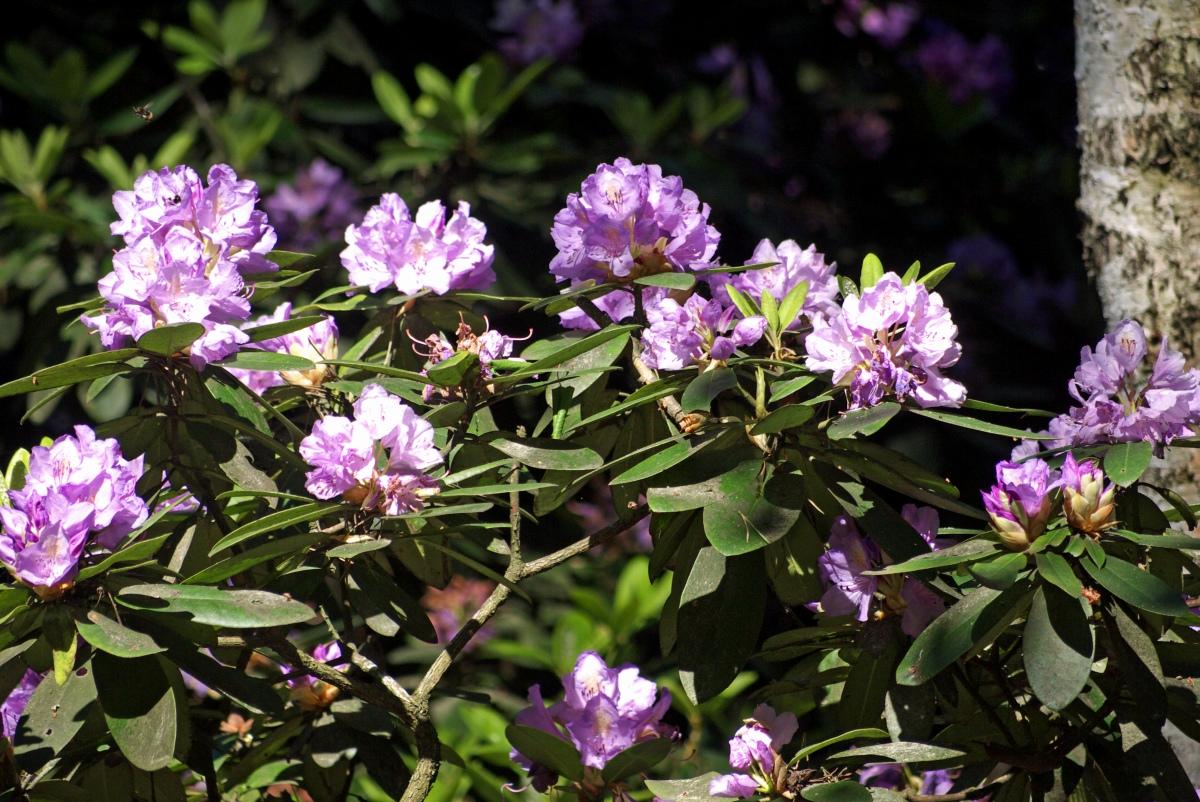 rododendrony lasy nad górną liswartą