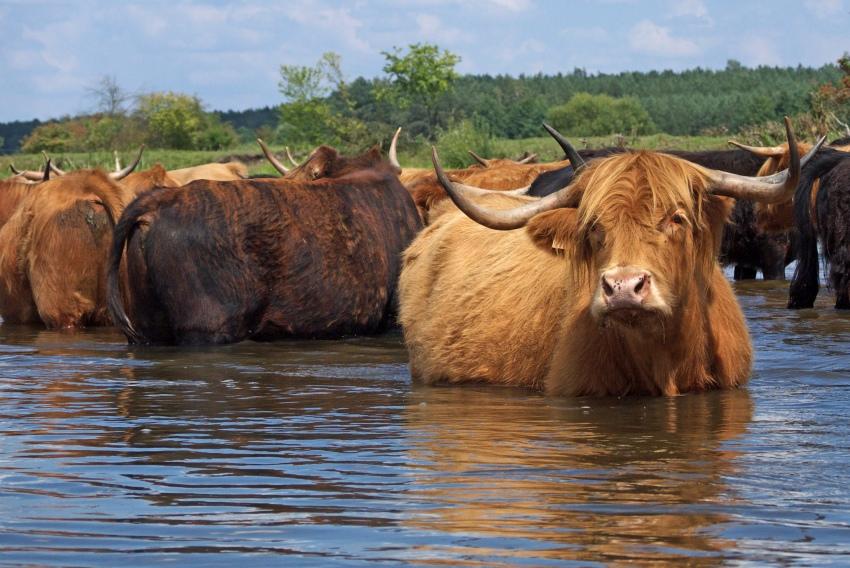 pilica krowy