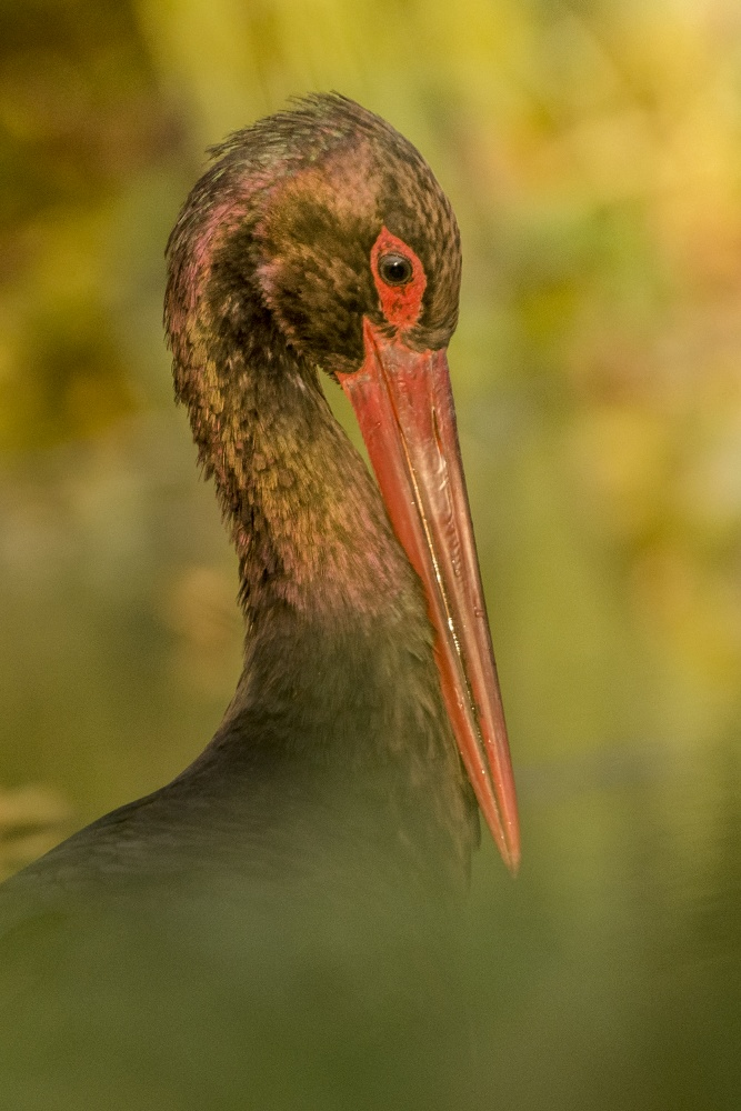 Bocian czarny. Fotografia dzikiej przyrody